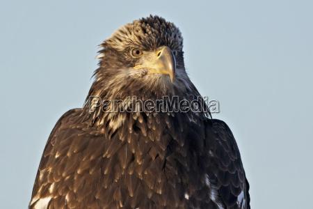 a juvenile bald eagle haliaeetus leucocephalushomer
