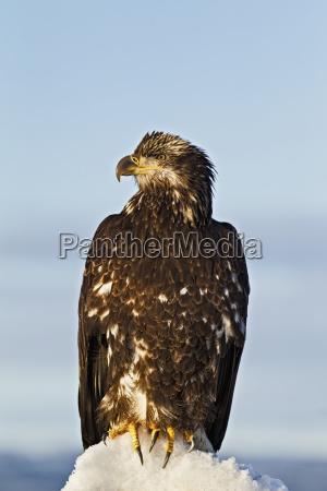 a juvenile bald eagle haliaeetus leucocephalus