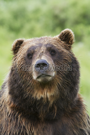 captive mature male brown bear ursus