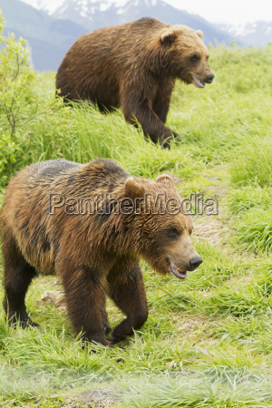 captive female and male brown bears