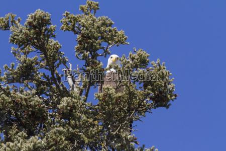bald eagle haliaeetus leucocephalus perched in