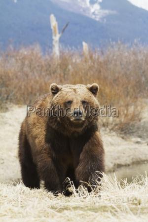 captive brown bear ursus arctos at