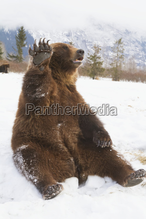 captive brown bear ursus arctos sitting