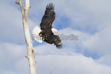 bald eagle haliaeetus leucocephalus in flight