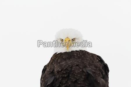 adult bald eagle haliaeetus leucocephalus looks
