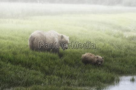 alaska peninsula brown bear ursus arctos