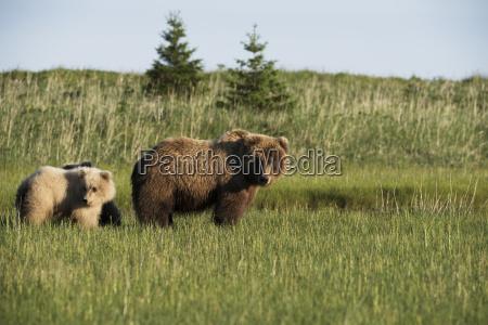 alaskan coastal bears ursus arctos sow