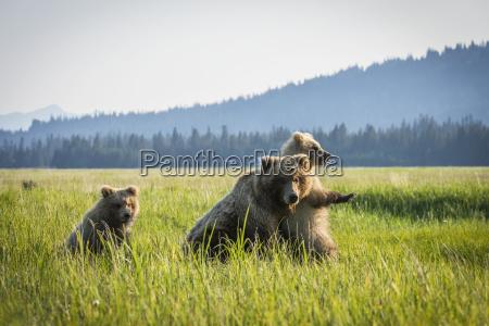 alaskan coastal bear ursus arctos in