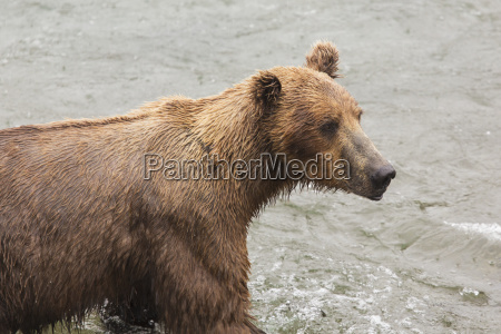 grizzly bear ursus arctos fishing for