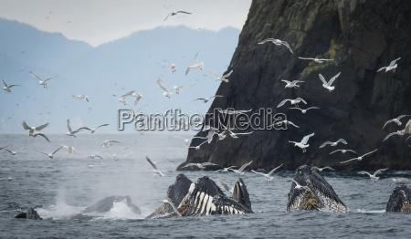 humpback whales megaptera novaeangliae bubble feeding