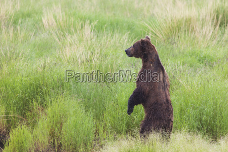 grizzly bear ursus arctos standing on