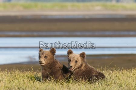 brown bear ursus arctos cubs katmai