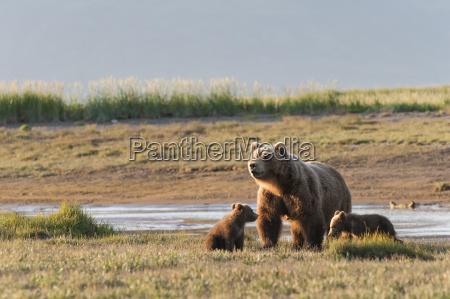 brown bear ursus arctos and cubs