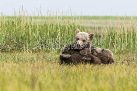 brown bear ursus arctos cubs playing
