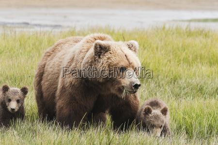 brown bear ursus arctos sow grazing