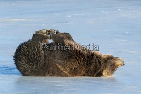 grizzly bear ursus arctos horribilis rolling