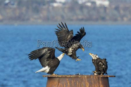 bald eagles haliaeetus leucocephalus landing and