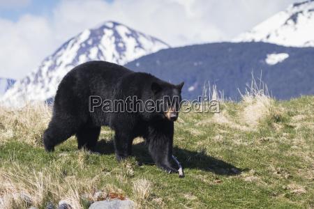american black bear ursus americanus at