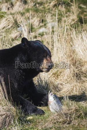 american black bear ursus americanus eating