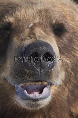 captive mature brown bear at the