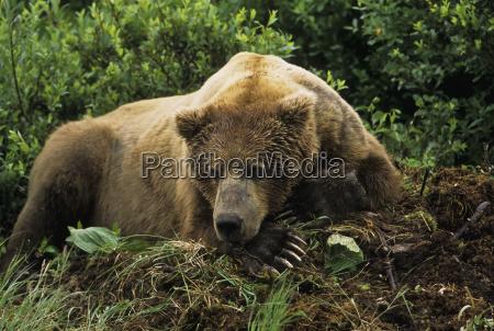 brown bear ursus arctos male resting