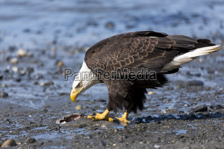 bald eagle haliaeetus leucocephalus feeding on