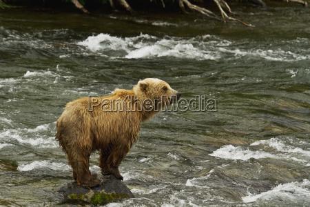 brown bear ursus arctos standing on