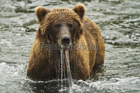 brown bear ursus arctos looks up