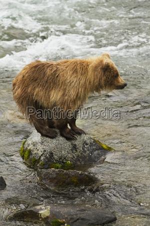 brown bear ursus arctos cub standing