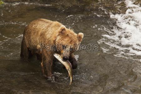 brown bear ursus arctos in brooks