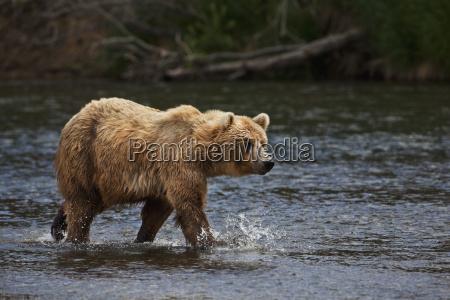 brown bear ursus arctos walking in