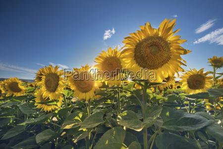 sunflower field against the sun