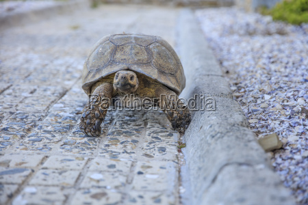 south africa cape town tortoise walking