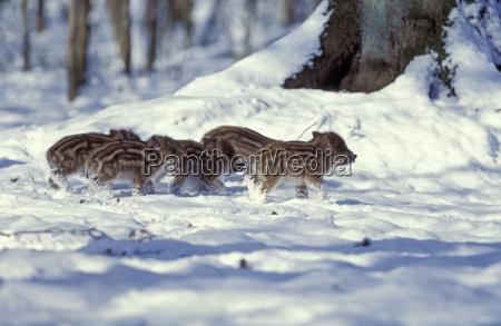 winter animal mammal wild animals mammals