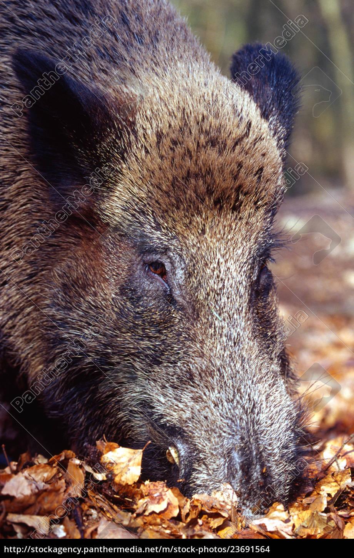 wild, boar - 23691564