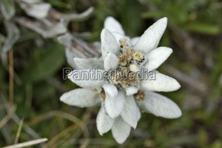 flowering edelweiss at gamsgrubenweg am grossglockner