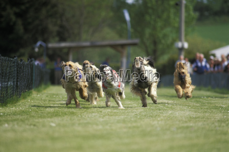 greyhound, racing - 23699024