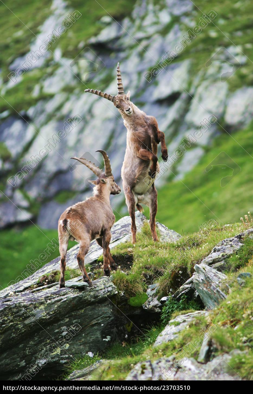 fighting, capricorns, (capra, ibex), gross, glockner, - 23703510
