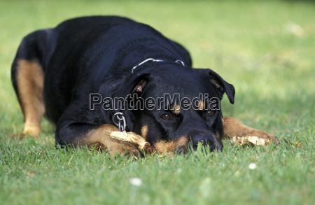 animal animals dog dogs rottweiler attack