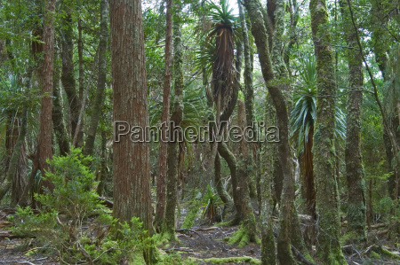 rainforest at dove lake in cradle
