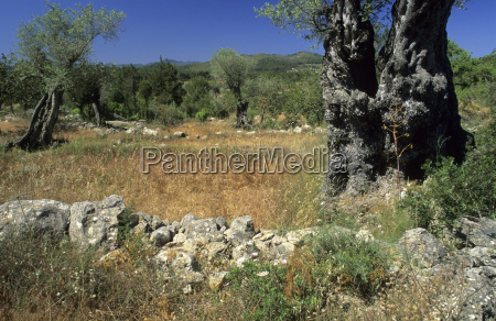 fields and old olive trees at