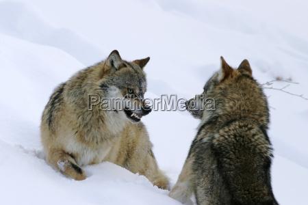 winter animal teeth animals eye organ