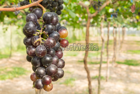 red grapes in grape garden or