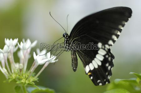 black butterfly sucks nectar of white