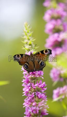 peacock butterfly butterfly feeding on