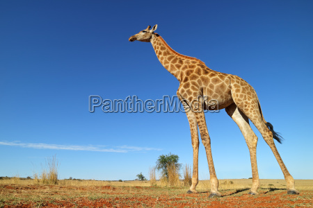 low angle view of a giraffe