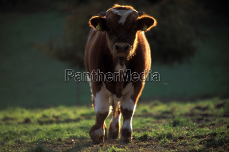 brown brownish brunette bull agriculture farming