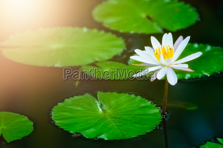 beautiful pink water lily in a