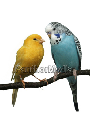 blue object isolated animal pet bird