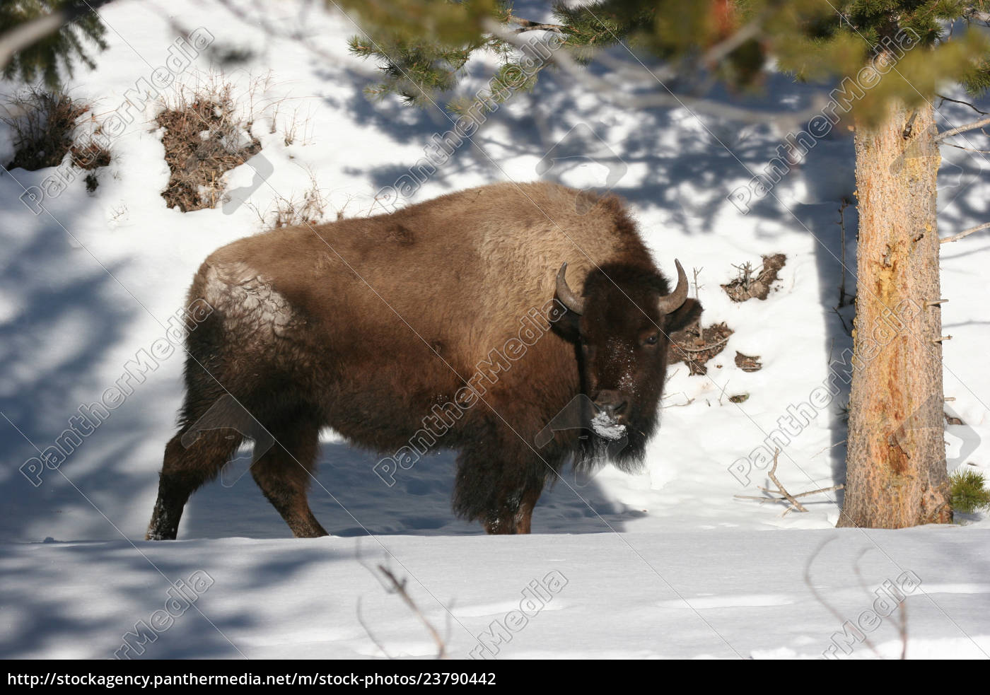 bison, in, winter - 23790442